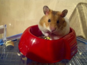 This is Speedy the Hamster